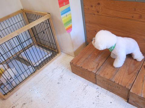 ビションフリーゼこいぬ子犬フントヒュッテ東京かわいいビションフリーゼ関東ビション文京区ビションフリーゼ画像ビションフリーゼおんなのこ姉妹メス子犬_58.jpg