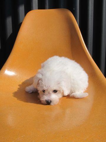 ビションフリーゼこいぬ子犬フントヒュッテ東京かわいいビションフリーゼ関東ビション文京区ビションフリーゼ画像ビションフリーゼおんなのこ姉妹メス子犬_60.jpg