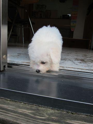 ビションフリーゼこいぬ子犬フントヒュッテ東京かわいいビションフリーゼ関東ビション文京区ビションフリーゼ画像ビションフリーゼおんなのこ姉妹メス子犬_62.jpg