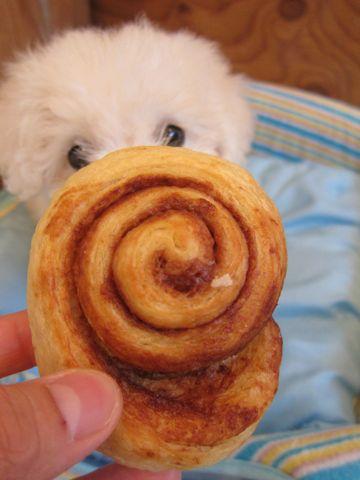 ビションフリーゼこいぬ子犬フントヒュッテ東京かわいいビションフリーゼ関東ビション文京区ビションフリーゼ画像ビションフリーゼおんなのこ姉妹メス子犬_85.jpg