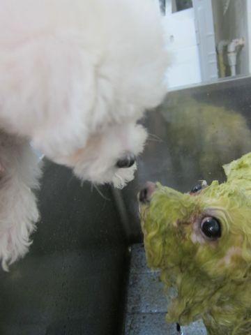 ビションフリーゼこいぬ子犬フントヒュッテ東京かわいいビションフリーゼ関東ビション文京区ビションフリーゼ画像ビションフリーゼおんなのこ姉妹メス子犬_92.jpg