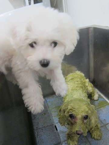 ビションフリーゼこいぬ子犬フントヒュッテ東京かわいいビションフリーゼ関東ビション文京区ビションフリーゼ画像ビションフリーゼおんなのこ姉妹メス子犬_93.jpg