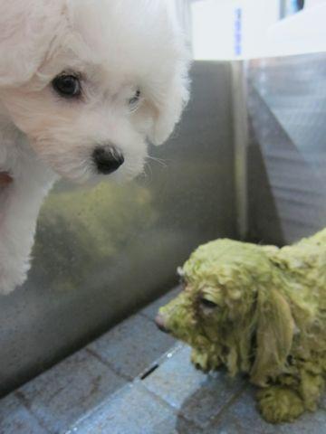 ビションフリーゼこいぬ子犬フントヒュッテ東京かわいいビションフリーゼ関東ビション文京区ビションフリーゼ画像ビションフリーゼおんなのこ姉妹メス子犬_94.jpg