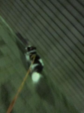 犬おあずかりペットホテル東京チワワ犬ホテル料金フントヒュッテ文京区チワワおさんぽ駒込チワワ画像都内ペットホテルおあずかりの様子犬のおさんぽ関東hundehutte19.jpg