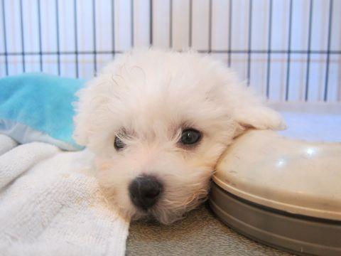 ビションフリーゼこいぬ子犬フントヒュッテ東京かわいいビションフリーゼ関東ビション文京区ビションフリーゼ画像ビションフリーゼおんなのこ姉妹メス子犬_98.jpg