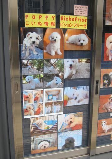 ビションフリーゼこいぬ子犬フントヒュッテ東京かわいいビションフリーゼ関東ビション文京区ビションフリーゼ画像ビションフリーゼおんなのこ姉妹メス子犬_99.jpg