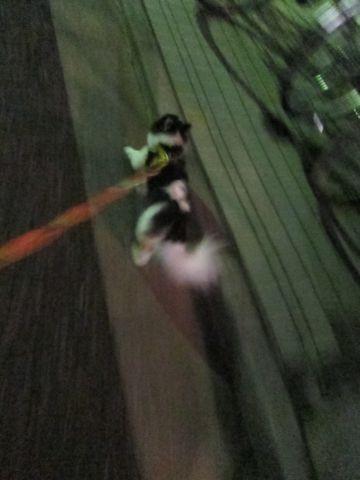 犬おあずかりペットホテル東京チワワ犬ホテル料金フントヒュッテ文京区チワワおさんぽ駒込チワワ画像都内ペットホテルおあずかりの様子犬のおさんぽ関東hundehutte32.jpg
