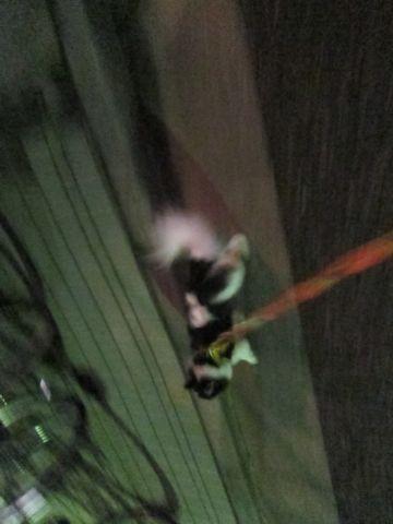 犬おあずかりペットホテル東京チワワ犬ホテル料金フントヒュッテ文京区チワワおさんぽ駒込チワワ画像都内ペットホテルおあずかりの様子犬のおさんぽ関東hundehutte34.jpg