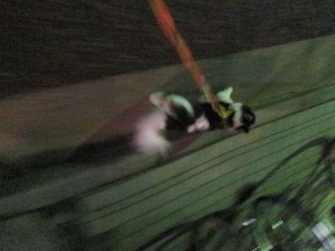 犬おあずかりペットホテル東京チワワ犬ホテル料金フントヒュッテ文京区チワワおさんぽ駒込チワワ画像都内ペットホテルおあずかりの様子犬のおさんぽ関東hundehutte35.jpg