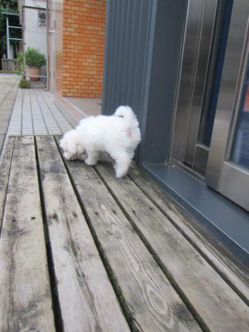 ビションフリーゼこいぬ子犬フントヒュッテ東京かわいいビションフリーゼ関東ビション文京区ビションフリーゼ画像ビションフリーゼおんなのこ姉妹メス子犬_102.jpg
