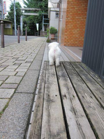 ビションフリーゼこいぬ子犬フントヒュッテ東京かわいいビションフリーゼ関東ビション文京区ビションフリーゼ画像ビションフリーゼおんなのこ姉妹メス子犬_104.jpg