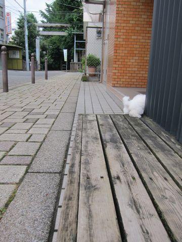 ビションフリーゼこいぬ子犬フントヒュッテ東京かわいいビションフリーゼ関東ビション文京区ビションフリーゼ画像ビションフリーゼおんなのこ姉妹メス子犬_105.jpg