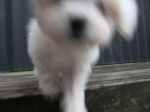 ビションフリーゼこいぬ子犬フントヒュッテ東京かわいいビションフリーゼ関東ビション文京区ビションフリーゼ画像ビションフリーゼおんなのこ姉妹メス子犬_106.jpg