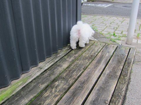 ビションフリーゼこいぬ子犬フントヒュッテ東京かわいいビションフリーゼ関東ビション文京区ビションフリーゼ画像ビションフリーゼおんなのこ姉妹メス子犬_107.jpg