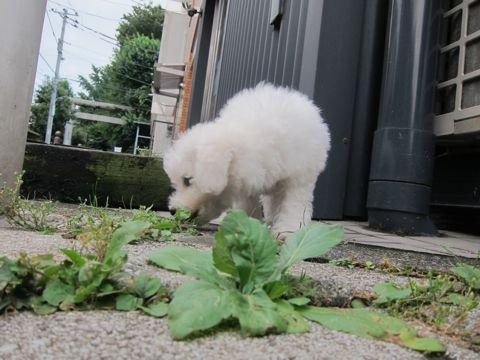 ビションフリーゼこいぬ子犬フントヒュッテ東京かわいいビションフリーゼ関東ビション文京区ビションフリーゼ画像ビションフリーゼおんなのこ姉妹メス子犬_108.jpg