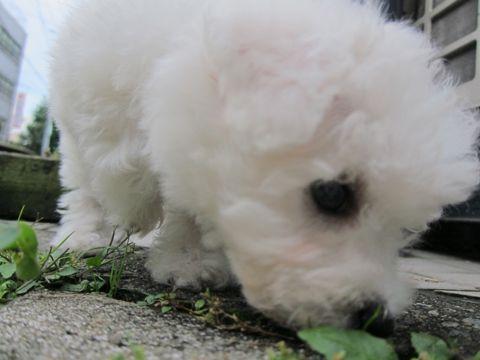 ビションフリーゼこいぬ子犬フントヒュッテ東京かわいいビションフリーゼ関東ビション文京区ビションフリーゼ画像ビションフリーゼおんなのこ姉妹メス子犬_111.jpg