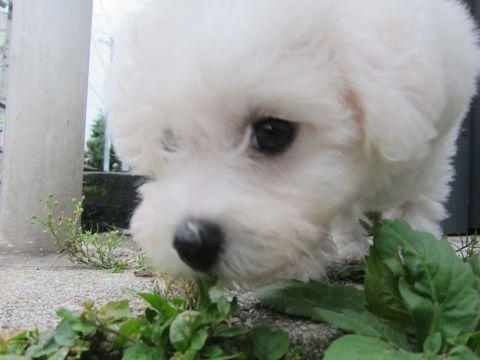 ビションフリーゼこいぬ子犬フントヒュッテ東京かわいいビションフリーゼ関東ビション文京区ビションフリーゼ画像ビションフリーゼおんなのこ姉妹メス子犬_112.jpg