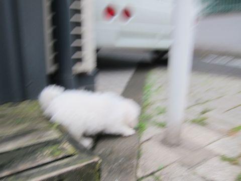 ビションフリーゼこいぬ子犬フントヒュッテ東京かわいいビションフリーゼ関東ビション文京区ビションフリーゼ画像ビションフリーゼおんなのこ姉妹メス子犬_114.jpg