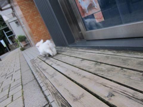 ビションフリーゼこいぬ子犬フントヒュッテ東京かわいいビションフリーゼ関東ビション文京区ビションフリーゼ画像ビションフリーゼおんなのこ姉妹メス子犬_119.jpg