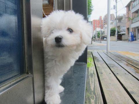 ビションフリーゼこいぬ子犬フントヒュッテ東京かわいいビションフリーゼ関東ビション文京区ビションフリーゼ画像ビションフリーゼおんなのこ姉妹メス子犬_129.jpg