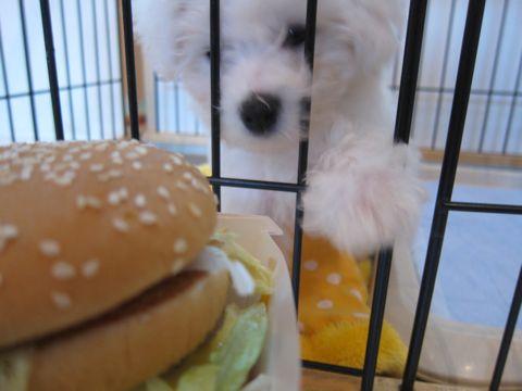 ビションフリーゼこいぬ子犬フントヒュッテ東京かわいいビションフリーゼ関東ビション文京区ビションフリーゼ画像ビションフリーゼおんなのこ姉妹メス子犬_144.jpg