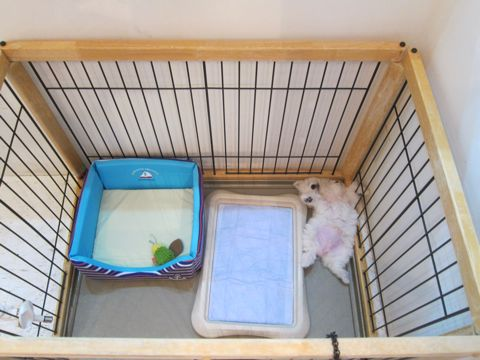 ビションフリーゼこいぬ子犬フントヒュッテ東京かわいいビションフリーゼ関東ビション文京区ビションフリーゼ画像ビションフリーゼおんなのこ姉妹メス子犬_151.jpg