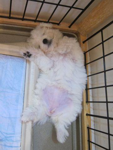 ビションフリーゼこいぬ子犬フントヒュッテ東京かわいいビションフリーゼ関東ビション文京区ビションフリーゼ画像ビションフリーゼおんなのこ姉妹メス子犬_154.jpg