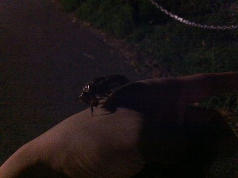 セミ せみ 蝉 幼虫 蝉の鳴き声 ミーンミーン セミの幼虫 セミ 羽化 セミ イラスト セミの図鑑 種類 セミ 公園 セミ どこにいる セミ 土の中に何年? セミの一生 2.jpg
