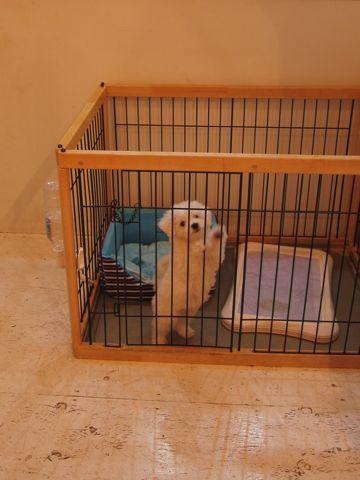 ビションフリーゼこいぬ子犬フントヒュッテ東京かわいいビションフリーゼ関東ビション文京区ビションフリーゼ画像ビションフリーゼおんなのこ姉妹メス子犬_162.jpg