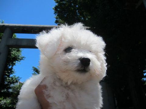 ビションフリーゼこいぬ子犬フントヒュッテ東京かわいいビションフリーゼ関東ビション文京区ビションフリーゼ画像ビションフリーゼおんなのこ姉妹メス子犬_165.jpg