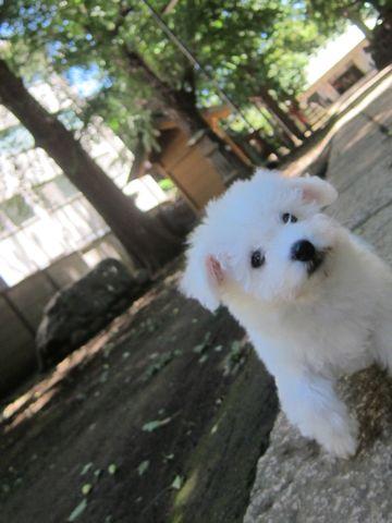 ビションフリーゼこいぬ子犬フントヒュッテ東京かわいいビションフリーゼ関東ビション文京区ビションフリーゼ画像ビションフリーゼおんなのこ姉妹メス子犬_176.jpg