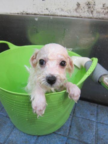 ビションフリーゼこいぬ子犬フントヒュッテ東京かわいいビションフリーゼ関東ビション文京区ビションフリーゼ画像ビションフリーゼおんなのこ姉妹メス子犬_206.jpg