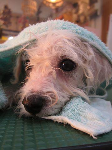 ビションフリーゼこいぬ子犬フントヒュッテ東京かわいいビションフリーゼ関東ビション文京区ビションフリーゼ画像ビションフリーゼおんなのこ姉妹メス子犬_210.jpg