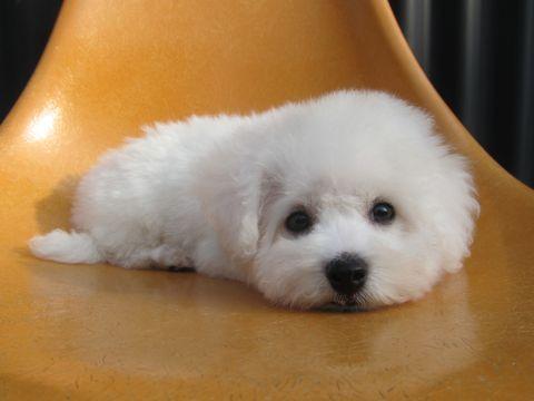 ビションフリーゼこいぬ子犬フントヒュッテ東京かわいいビションフリーゼ関東ビション文京区ビションフリーゼ画像ビションフリーゼおんなのこ姉妹メス子犬_215.jpg