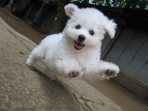ビションフリーゼこいぬ子犬フントヒュッテ東京かわいいビションフリーゼ関東ビション文京区ビションフリーゼ画像ビションフリーゼおんなのこ姉妹メス子犬_231.jpg