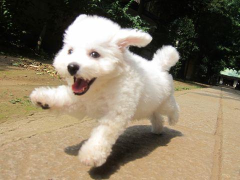 ビションフリーゼこいぬ子犬フントヒュッテ東京かわいいビションフリーゼ関東ビション文京区ビションフリーゼ画像ビションフリーゼおんなのこ姉妹メス子犬_240.jpg