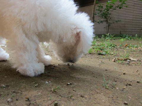 ビションフリーゼこいぬ子犬フントヒュッテ東京かわいいビションフリーゼ関東ビション文京区ビションフリーゼ画像ビションフリーゼおんなのこ姉妹メス子犬_250.jpg