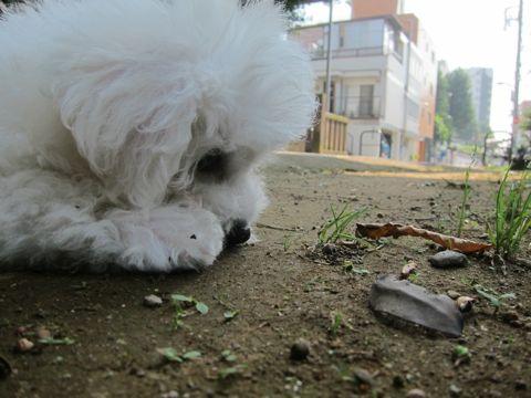 ビションフリーゼこいぬ子犬フントヒュッテ東京かわいいビションフリーゼ関東ビション文京区ビションフリーゼ画像ビションフリーゼおんなのこ姉妹メス子犬_252.jpg