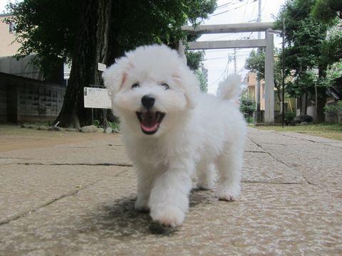 ビションフリーゼこいぬ子犬フントヒュッテ東京かわいいビションフリーゼ関東ビション文京区ビションフリーゼ画像ビションフリーゼおんなのこ姉妹メス子犬_257.jpg