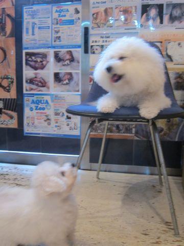 ビションフリーゼこいぬ子犬フントヒュッテ東京かわいいビションフリーゼ関東ビション文京区ビションフリーゼ画像ビションフリーゼおんなのこ姉妹メス子犬_260.jpg