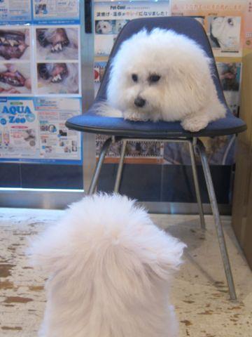 ビションフリーゼこいぬ子犬フントヒュッテ東京かわいいビションフリーゼ関東ビション文京区ビションフリーゼ画像ビションフリーゼおんなのこ姉妹メス子犬_261.jpg