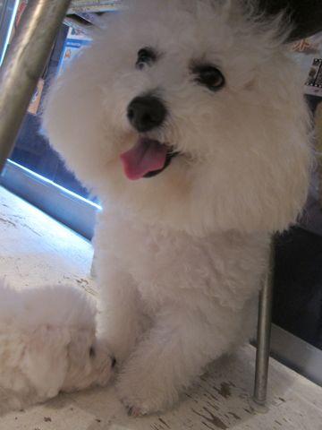 ビションフリーゼこいぬ子犬フントヒュッテ東京かわいいビションフリーゼ関東ビション文京区ビションフリーゼ画像ビションフリーゼおんなのこ姉妹メス子犬_265.jpg