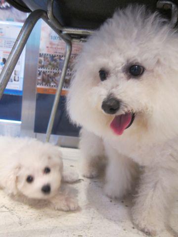 ビションフリーゼこいぬ子犬フントヒュッテ東京かわいいビションフリーゼ関東ビション文京区ビションフリーゼ画像ビションフリーゼおんなのこ姉妹メス子犬_267.jpg