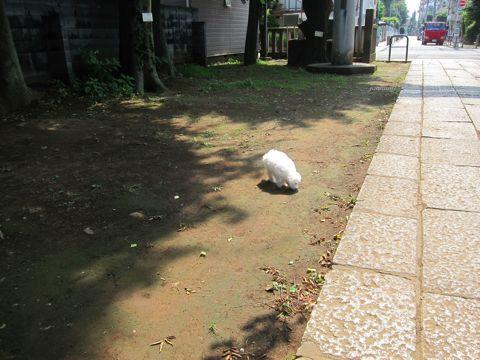 ビションフリーゼこいぬ子犬フントヒュッテ東京かわいいビションフリーゼ関東ビション文京区ビションフリーゼ画像ビションフリーゼおんなのこ姉妹メス子犬_269.jpg