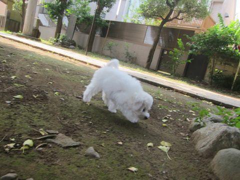 ビションフリーゼこいぬ子犬フントヒュッテ東京かわいいビションフリーゼ関東ビション文京区ビションフリーゼ画像ビションフリーゼおんなのこ姉妹メス子犬_271.jpg