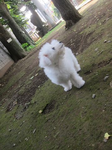 ビションフリーゼこいぬ子犬フントヒュッテ東京かわいいビションフリーゼ関東ビション文京区ビションフリーゼ画像ビションフリーゼおんなのこ姉妹メス子犬_274.jpg
