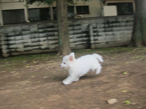 ビションフリーゼこいぬ子犬フントヒュッテ東京かわいいビションフリーゼ関東ビション文京区ビションフリーゼ画像ビションフリーゼおんなのこ姉妹メス子犬_275.jpg