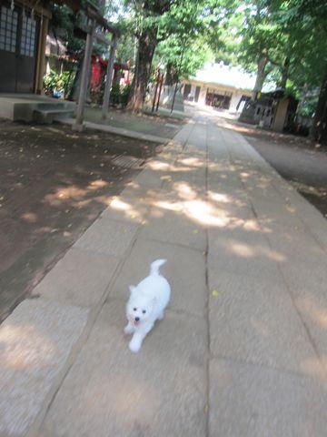 ビションフリーゼこいぬ子犬フントヒュッテ東京かわいいビションフリーゼ関東ビション文京区ビションフリーゼ画像ビションフリーゼおんなのこ姉妹メス子犬_276.jpg