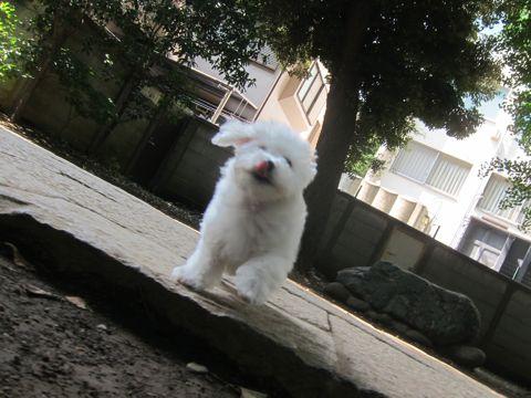 ビションフリーゼこいぬ子犬フントヒュッテ東京かわいいビションフリーゼ関東ビション文京区ビションフリーゼ画像ビションフリーゼおんなのこ姉妹メス子犬_277.jpg