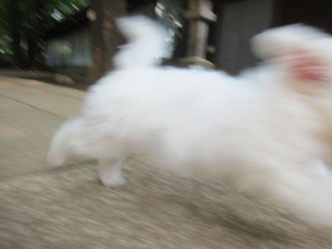 ビションフリーゼこいぬ子犬フントヒュッテ東京かわいいビションフリーゼ関東ビション文京区ビションフリーゼ画像ビションフリーゼおんなのこ姉妹メス子犬_284.jpg